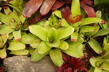Neoregelia Cruenta Is A Large Bromeliad That Grows In A Rosette