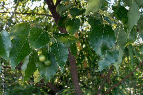 Vászonkép A close up shot of camphor laurel seeds and leaves