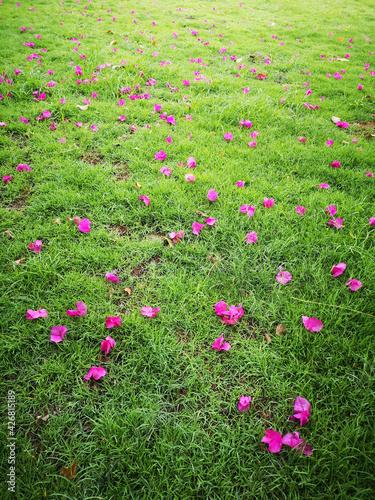 Fallen Bougainvillaea flowers on the lawn Fototapet