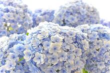 梅雨時になるとひときわ目を引くアジサイの花 青や紫、ピンクに白 淡い色のグラデーションに癒されますね