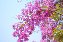 Queen's Flower Or Colorful Purple Lagerstroemia Speciosa Branch Blooming On Blue Sky Background