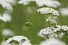 Achillea Millefolium. White Flowering Plant On A Green Background