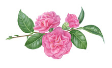 Watercolour Camellia Branch. Flowers, Buds And Leaves Arrangement
