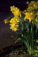 Narcissus Pseudonarcissus And Climbing Euonymus Bush In The Garden In Spring