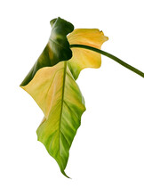 Philodendron Giganteum Leaf, Giant Philodendron Isolated On White Background, With Clipping Path