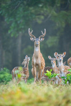 Spotted Deer At Topslip Tamilnadu