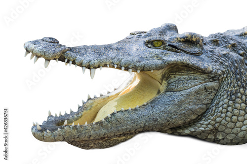 Photo close up crocodile with open mouth isolated white background