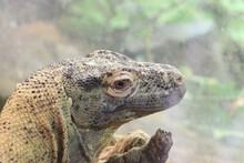 Close Up Portrait Of A Lizard