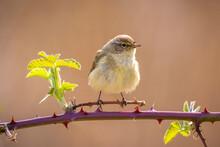 Common Chiffchaff Bird Phylloscopus Collybita