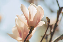 Blooming Magnolia Tree With Pink Flowers Close Up. Sochi,Russia.