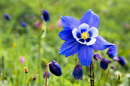 Canvas Blue aquilegia flower in a green meadow