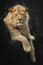 Portrait Of A Young Lion From South Africa, Panthera Leo Krugeri, Lying On A Tree Stump