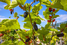 The Red And Black Mulberries Ripen On The Tree.