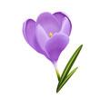 Rozkwitający krokus. Ręcznie rysowany kwiat w odcieniach fioletu na białym tle z zielonymi listkami.