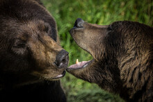 Two Grizzly Bears Kissing Or Touching With Mouth