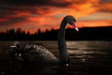 Black Swan Floating On A Lake At Sunset