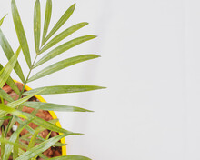 Top View. Macro Picture Of Part Of Parlour Palm Plant Indoor In A Flowerpot, To The Left Of The Frame, On The White Background. Space For Text On The Right Of The Image.