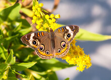 A Common Buckeye Butterfly (Junonia Coenia) On Goldenrod At Assateague Island National Seashore, Maryland