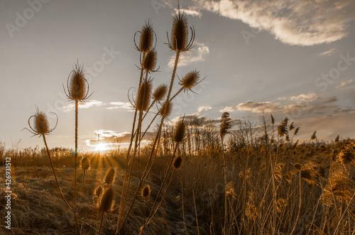 Fototapeta Sucha trawa na tle zachodzącego słońca obraz