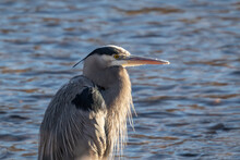Blue Heron Searching For Fish On The Boise River In March