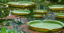Green Queen Victoria Water Lily Leaves In A Pond. Even Children Can Stand On It