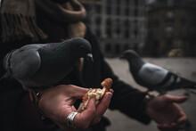Tame Pigeon 2