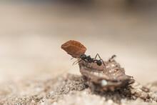 Ant Loading A Leaf