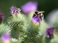 Native British Bee Covered In Pollen Forraging Head First In A Bright Purple Thistle