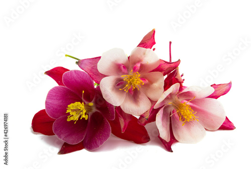 Valokuva aquilegia flower isolated