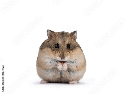 Fotografie, Tablou Cute adult brown hamster sitting on hind paws, holding and eating a flourworm in paws