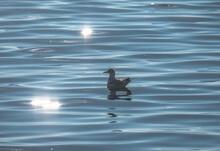 Seagull Swimming On Lake, Waves Lake