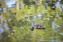 A Bird Relaxes In A Pond On A Lake On A Sunny Day. Water Lilies Are Swaying In The Background.