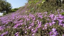 Drosanthemum Flowers With Honey Bees Around It