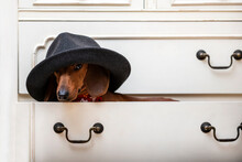 A Dachshund Dog In A Chic, Stylish And Fashionable Hat Sits On A Shelf In A Closet And Looks Slyly From Under The Wide Brim. Red-haired Dachshund Carefully Looks At The Camera From Under A Hat