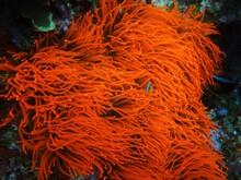 Bright Orange Sea Anemone
