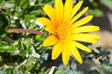 Flores Amarillas De Zona Costera