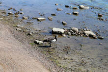 Multiple Canada Goose Photographed In Baltic Sea In A Beach In Helsinki, Finland. June 2019. Sunny Summer Day. Canada Goose Is A Duck Species That Had Migrated For North America. Color Image.