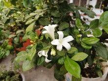 Orange Jasmine, China Box, Andaman Satinwood, Cosmetic Bark Tree, Jasmine Murray HD Stock Images   Adobe Stock