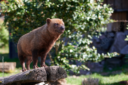 Valokuva Waldhunde (Speothos venaticus) hundeartige Landraubtiere