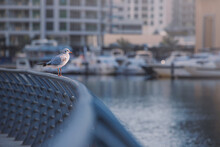 Seagulls Sit On The Parapet Of The Embankment In The Dubai Marina Area. Picture Creates A Vintage Sea Atmosphere