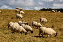 Sheep Herd Grazing, Causeway Coast , County Antrim, Northern Ireland