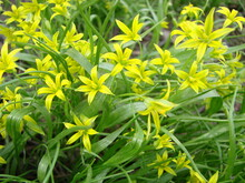 Small Flowers Of Gagea Lutea Or Goose Onions Close-up. Yellow Star-Of-Bethlehem Spring Blooming On Sunny Day.