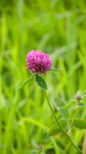 Flor Silvestre Morada En Pradera De Hieba Verde