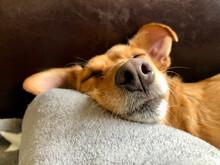 śpiący Pies Nos Brązowe Tło