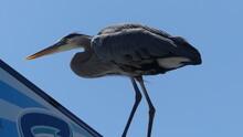 Great Blue Heron Ardea Cinerea