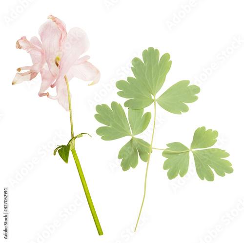 Billede på lærred Isolated single gentle pink flowers on white background