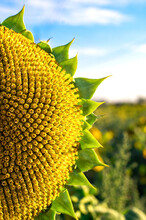Ripe Half Close-up Of A Sunflower With Ripe Seeds, Against The Background Of A Field And A Blue Sky. Agriculture. Harvest.