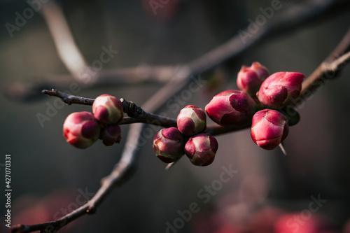 Foto Bourgeon de cognassier du japon sur la branche de l'arbre