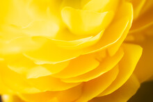 Macro De Pétales De Fleur Orangée Renoncule - Arrière Plan Design Abstrait Pétales De Fleur