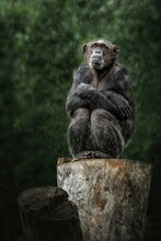 The Chimpanzee (Pan Troglodytes) Sitting Sad On A Tree Stump In Rainy Weather. Green Natural Background
